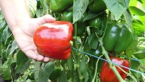 Colheita manual de machos e corte de paprika vermelha da planta em estufa vídeos de arquivo