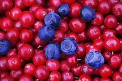 Colheita natural antioxidante da airela, cor brilhante Fundo rústico com os arandos e as uvas-do-monte coloridos saborosos vermel Foto de Stock Royalty Free