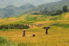 Colheita no campo do arroz Imagens de Stock