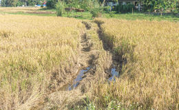 Colheita no campo do arroz Imagens de Stock Royalty Free