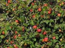 Colheita nova da maçã imagem de stock
