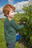 Colheita nova do fruto do menino Foto de Stock Royalty Free