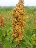 Colheita próxima do Quinoa Imagens de Stock