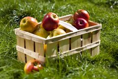 Colheita rica de maçãs bonitas Fotos de Stock
