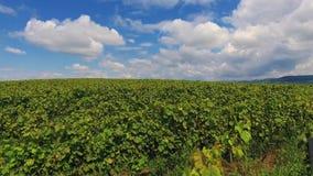 Colheita Ucrânia Europa da adega da paisagem da agricultura do vinhedo do campo video estoque