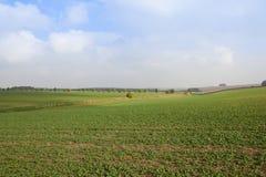Colheita verde do canola Fotografia de Stock Royalty Free