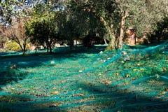 Colheita verde-oliva Fotografia de Stock