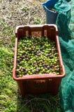 Colheita verde-oliva Foto de Stock Royalty Free