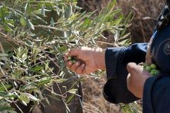 Colheita verde-oliva em Palestina foto de stock