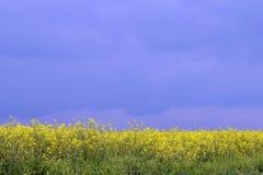 Colheitas da colza nos 2 lisos Fotografia de Stock Royalty Free
