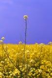 Colheitas da colza nos 3 lisos Fotografia de Stock