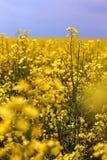 Colheitas da colza nos 5 lisos Fotografia de Stock Royalty Free