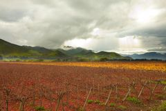 Colheitas da uva no vale de Elqui Imagens de Stock