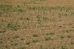 Colheitas de plântula em um campo seco imagens de stock