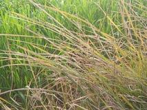 Colheitas do arroz Imagens de Stock