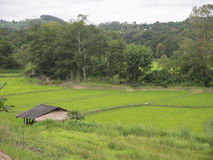Colheitas do arroz de Tailândia em Mae Hong Son Fotos de Stock Royalty Free
