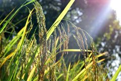 Colheitas do arroz que esperam para ser colhido imagens de stock