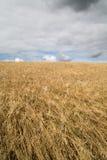 Colheitas do cereal em Cornualha Reino Unido fotografia de stock