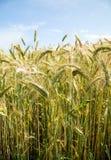 Colheitas do cereal em wales Reino Unido imagem de stock royalty free