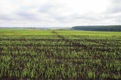Colheitas do inverno plantadas em áreas rurais Fotos de Stock Royalty Free