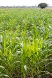 Colheitas do milho com árvores Fotos de Stock