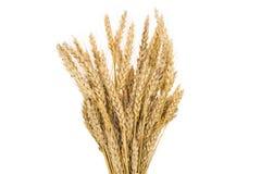 Colheitas do trigo no fundo branco, isolado Fotografia de Stock
