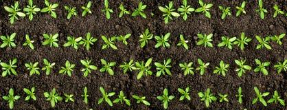 Colheitas verdes Imagem de Stock