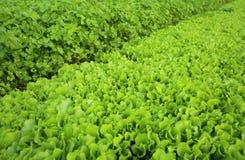 Colheitas verdes da alface e do aipo no crescimento Imagem de Stock Royalty Free