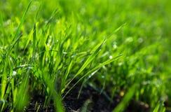 Colheitas verdes ricas do inverno nos campos Foto de Stock Royalty Free