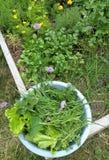 Colhendo algumas ervas e alface do jardim imagem de stock royalty free