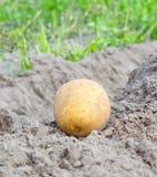 Colhendo batatas Fotografia de Stock