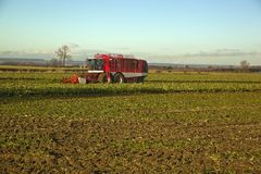 Colhendo a beterraba, em Lincolnshire Fotografia de Stock