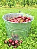 Colhendo cerejas Foto de Stock