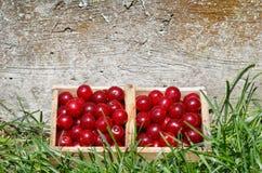 Colhendo cherrys ácidos do cerasus do Prunus Foto de Stock Royalty Free