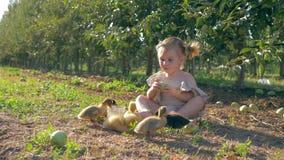 Colhendo, a criança bonito que come a maçã ao pastar patos pequenos no outono jardina durante a colheita do fruto vídeos de arquivo