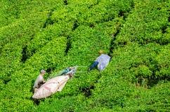 Colhendo a folha de chá em Cameron Highlands imagens de stock royalty free