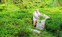 Colhendo a folha de chá em Cameron Highlands fotografia de stock