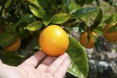Colhendo a laranja Imagem de Stock