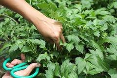 Colhendo legumes frescos no jardim orgânico Legumes frescos do jardim orgânico na mão dos fazendeiros As mãos estão colhendo Vege imagens de stock royalty free