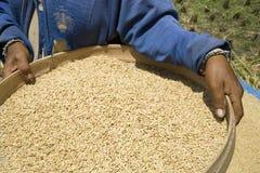 Colhendo o arroz imagens de stock royalty free