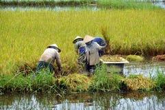 Colhendo o arroz imagens de stock