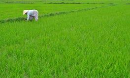 Colhendo o arroz Foto de Stock Royalty Free