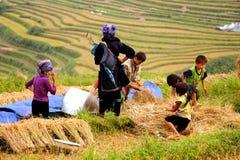 Colhendo o arroz Fotos de Stock Royalty Free