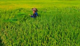 Colhendo o arroz Imagem de Stock