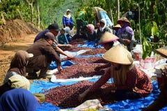 Colhendo o CAFÉ em INDONÉSIA Fotografia de Stock