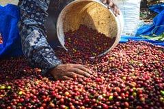 Colhendo o CAFÉ em INDONÉSIA Fotografia de Stock Royalty Free