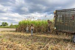 Colhendo o campo da cana-de-açúcar, província de Tay Ninh, Vietname Imagem de Stock