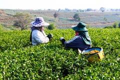 Colhendo o chá verde foto de stock royalty free