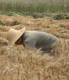 Colhendo o trigo à mão Foto de Stock