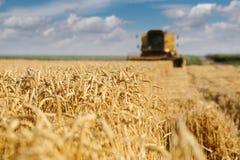 Colhendo o trigo Imagens de Stock